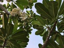Status onder de plumeriaboom en omhoog het kijken om hemel te ontruimen Stock Fotografie