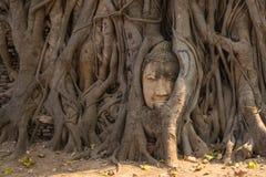 Statyn för det Ayutthaya Buddhahuvudet med fångat i det Bodhi trädet rotar på royaltyfri bild