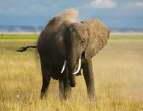 Staubbaden des afrikanischen Elefanten Lizenzfreie Stockbilder