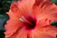 Staubgefäß von einer roten Blume lizenzfreie stockfotos