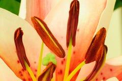 Staubgefässe der Lilienblume lizenzfreies stockfoto