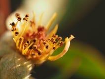 Staubgefässe innerhalb der Blumennahaufnahme lizenzfreies stockfoto
