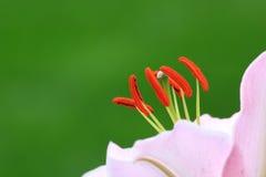 Staubgefässe und Schande eines rosafarbenen Mischlings Daylily-1 Lizenzfreies Stockfoto