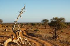 Staubige Sonne des Piste am frühen Morgen in der Savanne von Tsavo Ost-Kenia lizenzfreie stockbilder