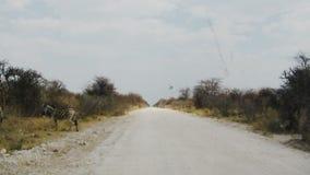 Staubige Straße der Zebraüberfahrt im afrikanischen Nationalpark stock footage