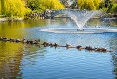 Stauen Sie die Schildkröten und Enten, die auf der Anmeldung den See sonnen Stockfoto