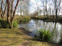 Stauen Sie mit Enten in der London-Sumpfgebiet-Mitte - WWT-Naturreservat stockfoto