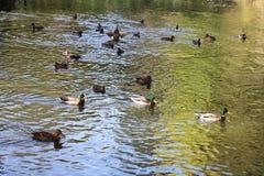 Stauen Sie mit Enten im Herbstpark Oleksandriya in Bila Tserkva, Ukraine stockfotos