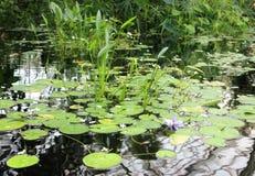 Staw z kwiatonośnymi lelujami odbijał w wodzie Tropikalny klimat zdjęcia royalty free