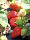 Stawberries stock afbeelding
