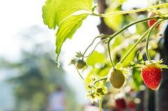 Stawberries Imagens de Stock Royalty Free