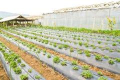 stawberry的农场 免版税库存照片