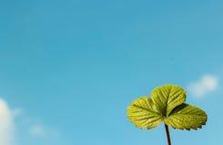 Stawberry-Blatt Lizenzfreies Stockfoto
