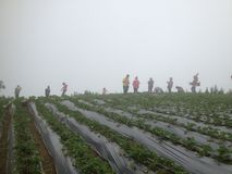 Stawberry fält Arkivfoton