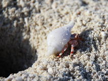 Stawberry hermit crab Royalty Free Stock Photography