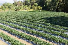 stawberry lantgård royaltyfri foto