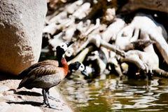 Stawiać czoło gwizdanie kaczki Zdjęcia Royalty Free