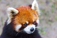 Stawia czoło czerwonej pandy Męska czerwona panda na łące Chiny Obraz Stock
