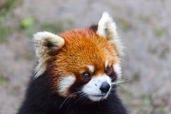 Stawia czoło czerwonej pandy Męska czerwona panda na łące Chiny Obrazy Stock
