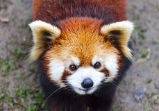 Stawia czoło czerwonej pandy Męska czerwona panda na łące Chiny Obrazy Royalty Free