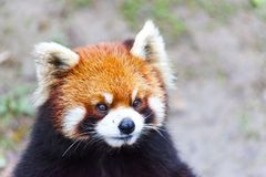 Stawia czoło czerwonej pandy Męska czerwona panda na łące Chiny Fotografia Stock