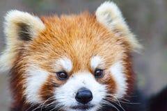 Stawia czoło czerwonej pandy Męska czerwona panda na łące Chiny Zdjęcie Royalty Free