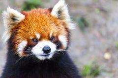 Stawia czoło czerwonej pandy Męska czerwona panda na łące Chiny Zdjęcia Royalty Free