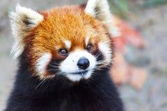 Stawia czoło czerwonej pandy Męska czerwona panda na łące Chiny Obraz Royalty Free