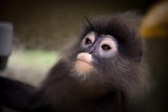 Stawia czoło up, oczy Langur, liść małpy zakończenie Obrazy Stock
