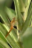 Stawia dragonfly liść Fotografia Stock