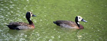 Stawiająca czoło gwizdanie kaczka Fotografia Royalty Free