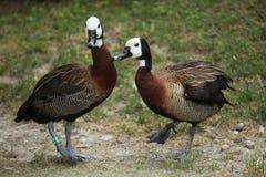 Stawiająca czoło gwizdanie kaczka (Dendrocygna viduata) Fotografia Royalty Free