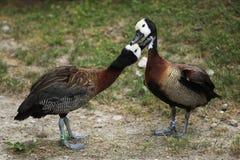 Stawiająca czoło gwizdanie kaczka (Dendrocygna viduata) Fotografia Stock