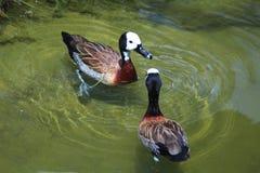 Stawiająca czoło gwizdanie kaczka - naukowy imię Dendrocygna viduata Zdjęcia Stock