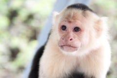stawiająca czoło małpa Obrazy Royalty Free