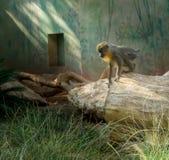 stawiający czoło Capuchins Cebus capucinus knelting jak Mowgli na drzewie podczas midday upału w Ramat Gan safari parku obraz stock