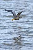 Stawiający czoło czapli latanie przez jezioro Zdjęcia Stock