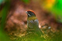 Stawiający czoło finch, Arremon crassirostris, siedzi na zielonej mech gałąź Zwrotnika ptak w natury siedlisku Przyroda w Costa R zdjęcia stock