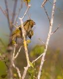 Stawiający czoło Grassquit na drzewie fotografia royalty free