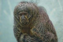 stawiający czoło kobiety małpy portreta saki biel Fotografia Stock