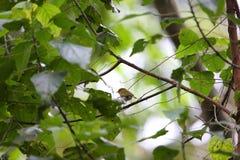 Stawiający czoło lasu warbler Fotografia Stock