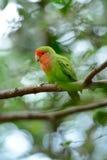 Stawiający czoło lovebird (Agapornis roseicollis) Zdjęcie Stock