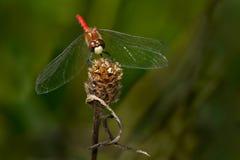 Stawiający czoło Meadowhawk Dragonfly Zdjęcia Stock