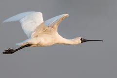 Stawiający czoło Spoonbill latanie Zdjęcie Royalty Free