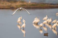 Stawiający czoło Spoonbill latanie Fotografia Stock