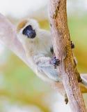 Vervet małpa Zdjęcie Stock