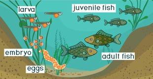 Stawowy ekosystem i etap życia ryba Sekwencja sceny rozwój ryba od jajka dorosły zwierzę ilustracja wektor