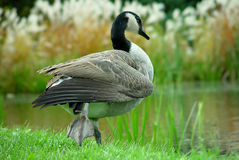 Goose by River. Goose on the edge of water Stock Photo
