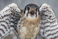 Stay Away From Me. Closeup of an angry American Kestrel Royalty Free Stock Image