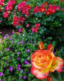 Stay Focused. Rose, pittockmansion, lit royalty free stock photos